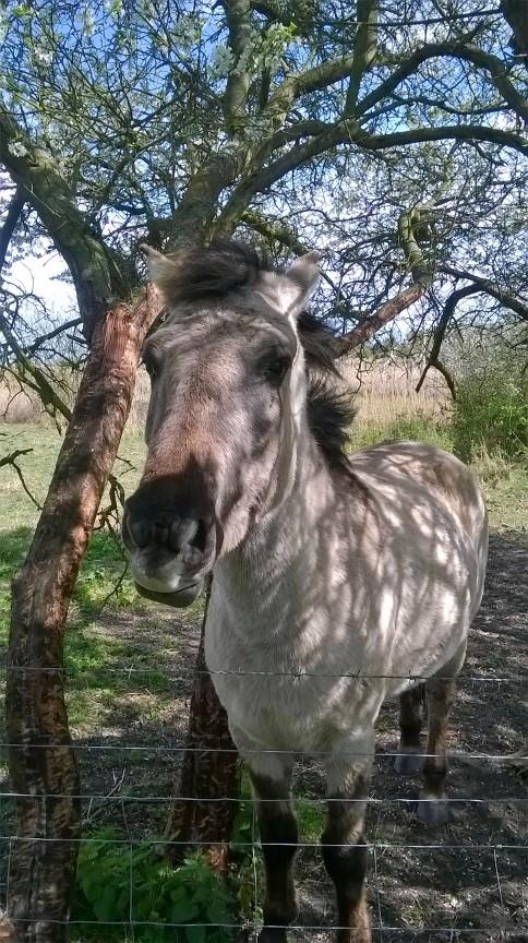 Konik pony Dunwich