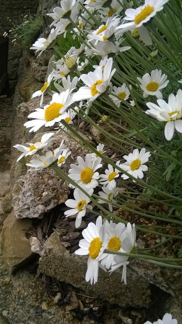 Felixstowe daisies