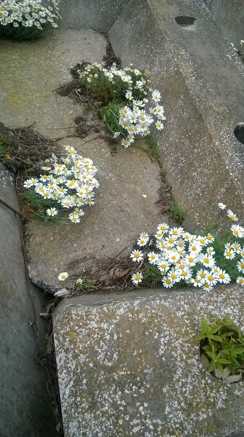 Flowers on sea defence