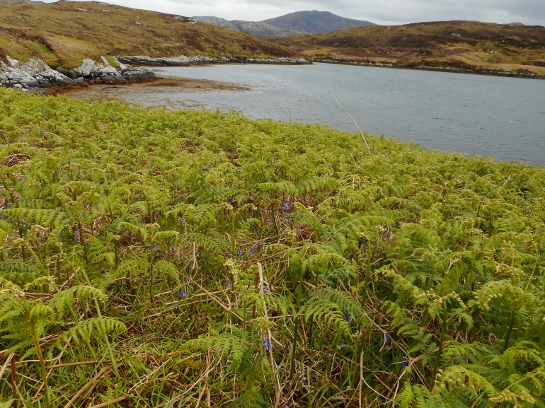 Loch Eynort, South Uist, Hebrides, ferns and bluebells