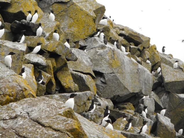 Razorbills, Shiant Isles