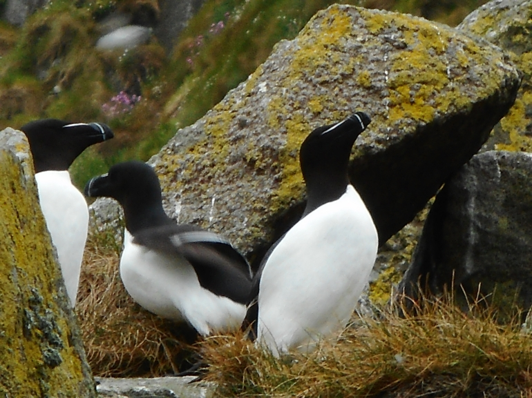 Shiant Islands, razor bills