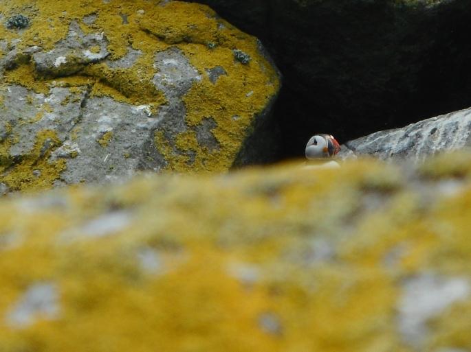 Puffin hiding, Shiant Isles