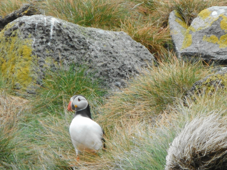 Shiant Islands, puffin