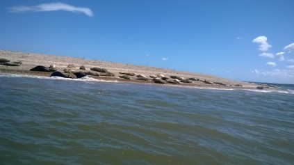 Blakney seals in surf July 17 2