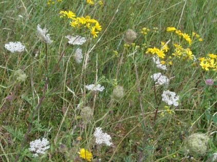 Wild flowers, Mersea Island