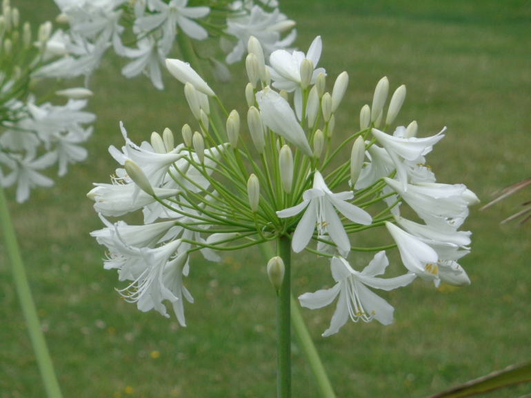 Agapanthus flower, Mersea Island