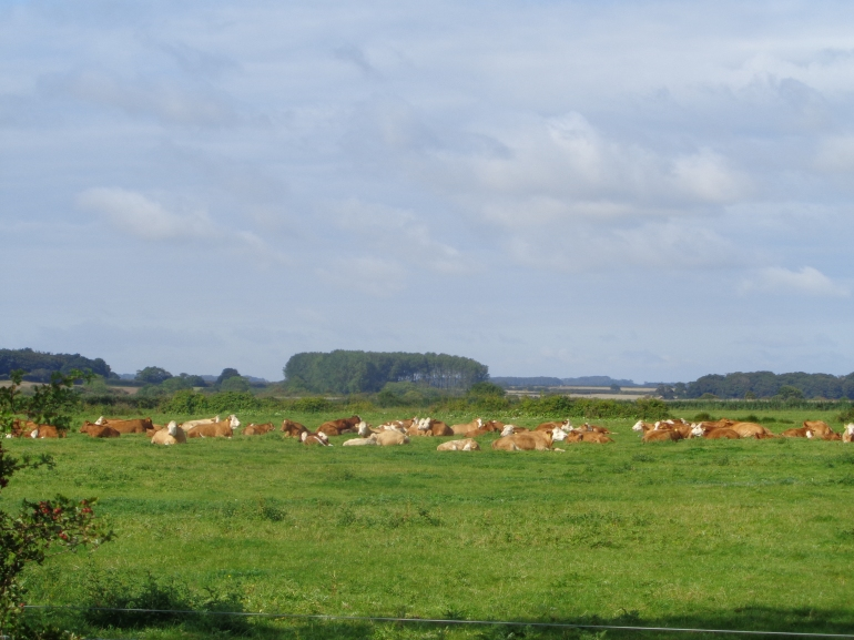 Cattle, Holkham, August 2017