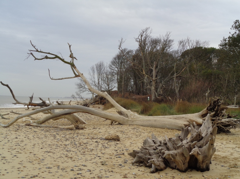 Benacre, cliffs crumbling, trees on beach