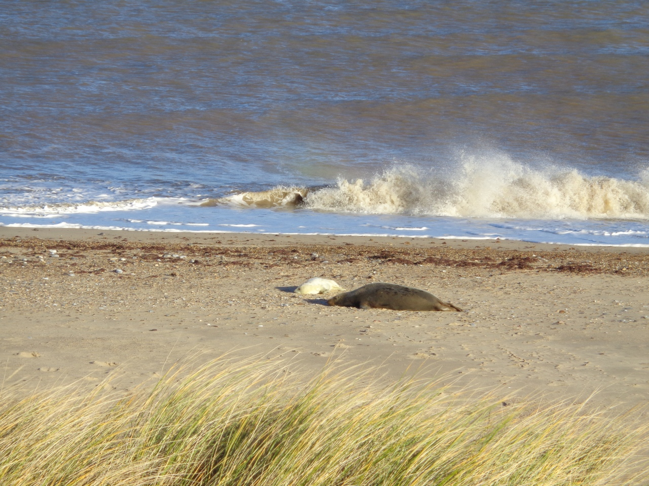 Seal, pup and breaking wave south Norfolk