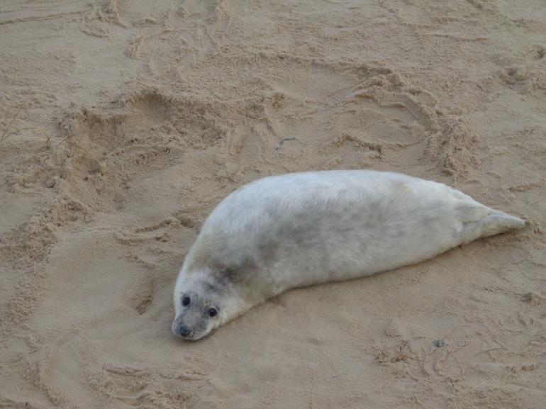 Norfolk seal pup